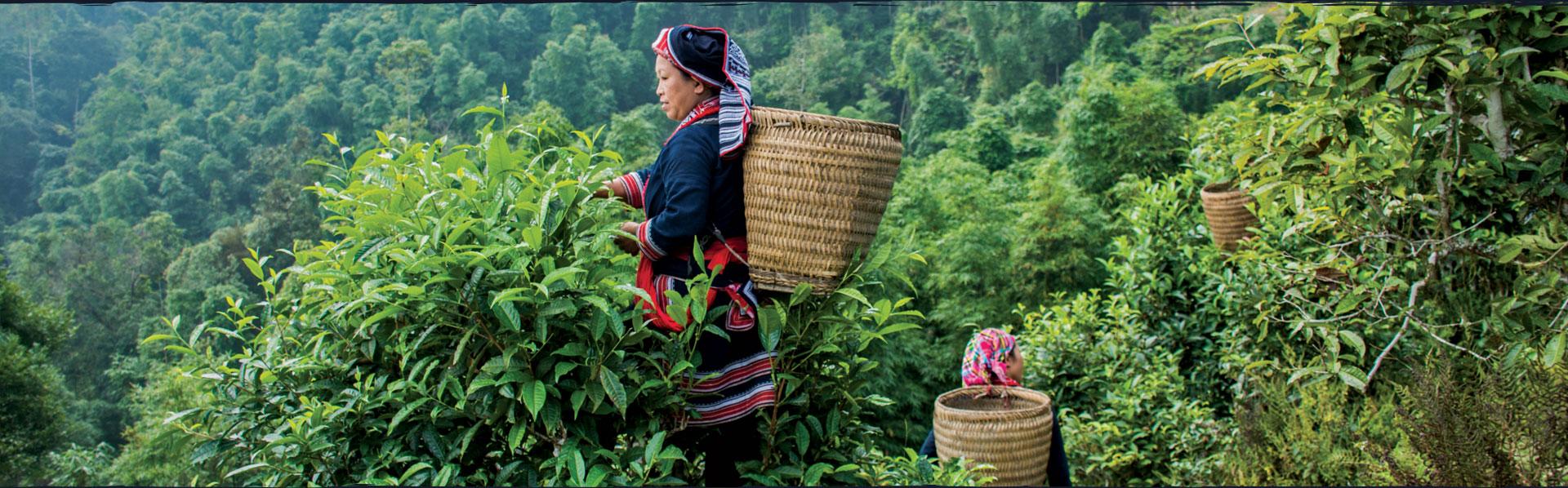 Chè shan tuyết Hà Giang. Đặc sản chè sạch với hương thơm, vị đượm, hậu ngọt