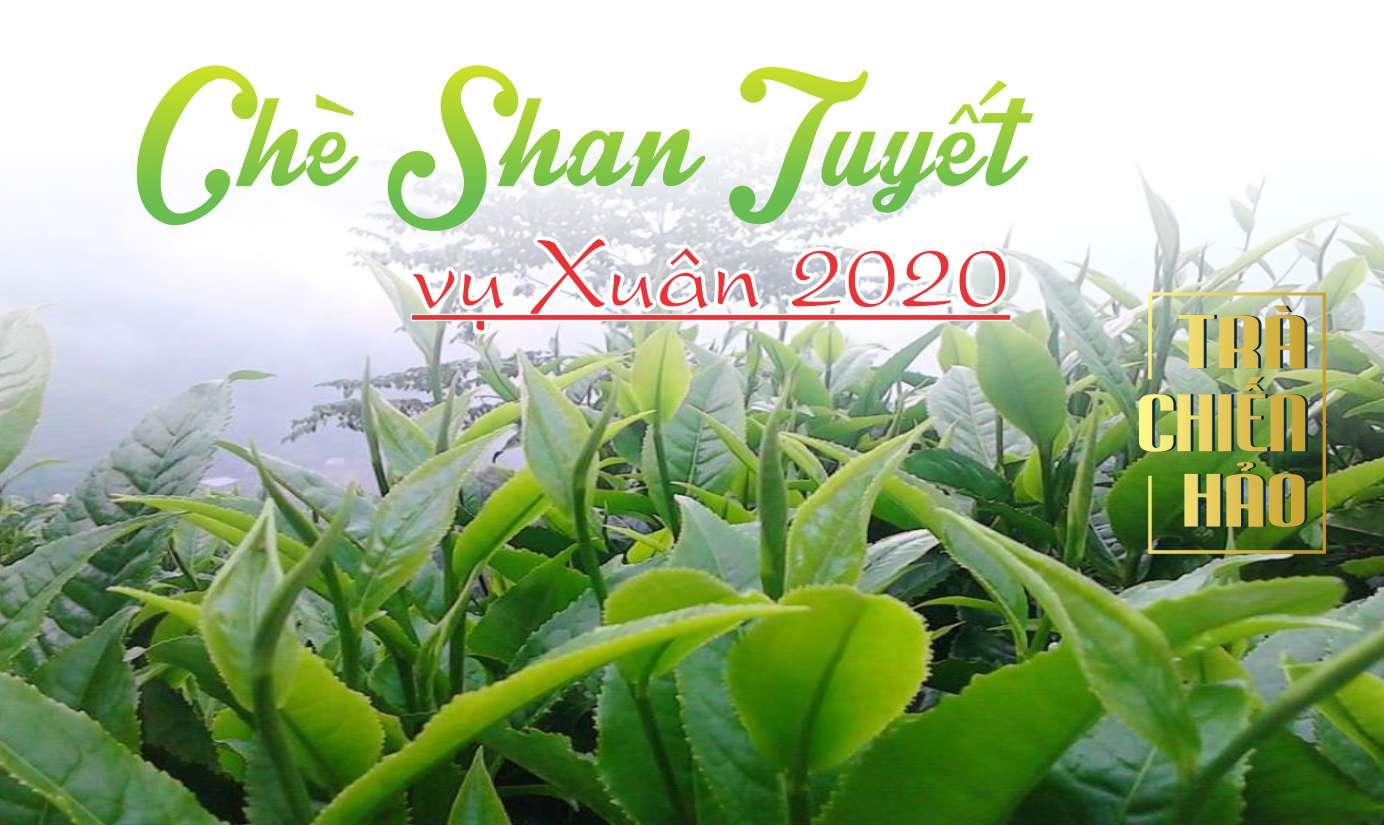 Trà shan tuyết vụ Xuân 2021