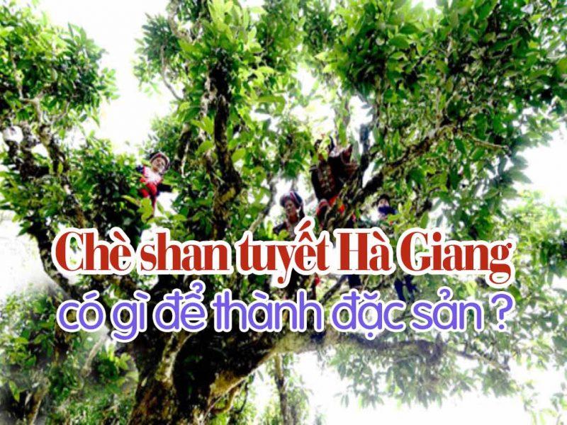 Chè shan tuyết Hà Giang có gì để thành đặc sản ?
