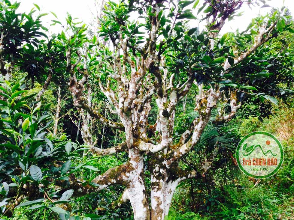 cây trà shan tuyết 200 năm tuổi
